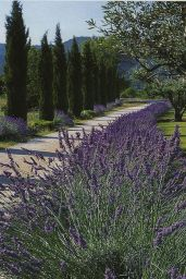 Italian Cypress and Lavender