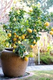 Lemon Tree in a Pot